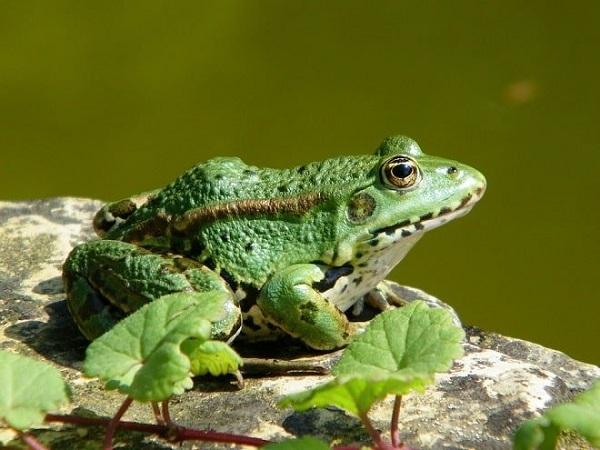 Mơ thấy con ếch có điềm gì?