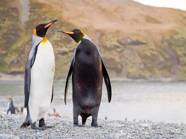 Mơ thấy chim cánh cụt điềm gì?