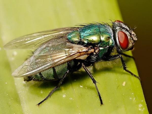 Mơ thấy con ruồi ý nghĩa gì?