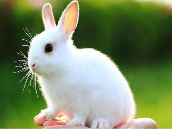 Mơ thấy con thỏ điềm gì?