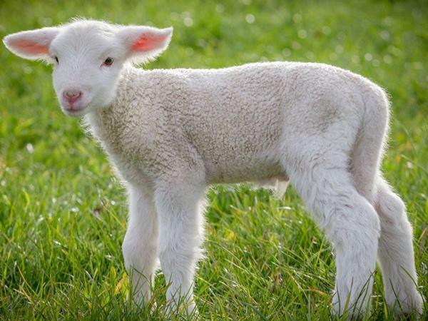 Nằm mơ thấy cừu là điềm báo điều gì?