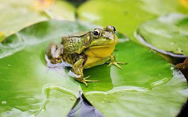 Nằm mơ thấy con ếch báo hiệu con số gì nên đánh lô số mấy